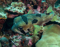 Black Blotched Porcupinefish